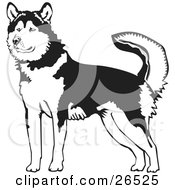 Clipart Illustration Of An Alert Alaskan Malamute Dog Holding His Tail Up Black And White