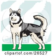 Clipart Illustration Of An Alaskan Malamute Dog Holding His Tail Up And Standing On Grass by David Rey