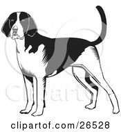 Clipart Illustration of an Alert American Foxhound Dog Standing, Black And White by David Rey