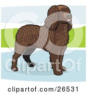Clipart Illustration Of An Alert Brown Curly Haired American Water Spaniel Dog Standing In A Puddle