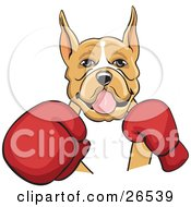 Tan And White Boxer Dog With Cropped Ears, Fighting With Red Boxing Gloves