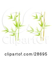 Stalks Of Lush Green And Yellow Bamboo Plants