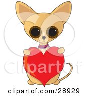 Adorable Big Eyed Tan Chihuahua Dog Sitting Up And Holding A Red Valentine Heart