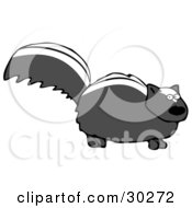 Nervous Black Skunk With White Stripes On Its Back Standing Still And Looking At The Viewer