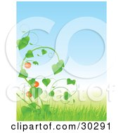 Tomatoes Growing On A Lush Green Vine In Tall Grass Under A Blue Sky