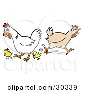 Clipart Illustration Of A Rooster And Chicken Running Around With Two Little Chicks