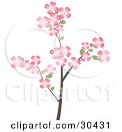 Flowering Dogwood Tree Branch Covered In Beautiful Pink Flowers