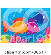 Clipart Illustration Of A Group Of Three Schooling Orange Purple And Blue Fish Near Sea Anemones