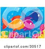Poster, Art Print Of Group Of Three Schooling Orange Purple And Blue Fish Near Sea Anemones