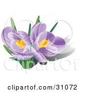 Two Blooming Purple Crocus Flowers With Orange Stamens