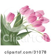 Bunch Of Pink Tulip Flowers With Lush Green Stalks And Leaves Over White