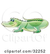 Cute Blue Eyed Green Alligator Walking Past And Glancing At The Viewer