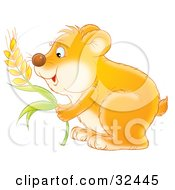 Hungry Orange Hamster Stuffing Wheat Grains Into His Cheeks