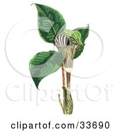 Clipart Illustration Of A Striped Jack In The Pulpit Flower Arum Triphyllum On A White Background