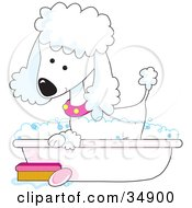 Clipart Illustration Of A Cute White Poodle In A Pink Collar Taking A Sudsy Bubble Bath In A Tub