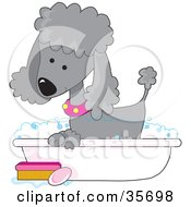 Clipart Illustration Of A Cute Silver Poodle In A Pink Collar Taking A Sudsy Bubble Bath In A Tub