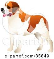 Alert Brown And White St Bernard Dog Facing Left