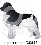 Clipart Illustration Of A Black And White Furry Newfoundland Dog Standing And Facing Left by Prawny