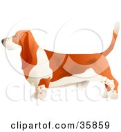 Clipart Illustration Of A Brown And White Basset Hound Dog In Profile Facing Left