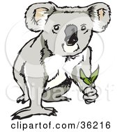 Koala Looking Up And Holding Eucalyptus Leaves