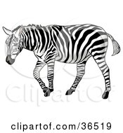 Clipart Illustration Of A Lonely Blue Eyed Zebra Sulking by dero