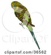 Clipart Illustration Of A Green Budgerigar Shell Parakeet Or Budgie Melopsittacus Undulatus by dero