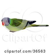 Clipart Illustration Of A Curious Plum Headed Parakeet Psittacula Cyanocephala by dero