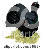 Clipart Illustration Of A Capercaillie Wood Grouse Or Western Capercaillie Tetrao Urogallus