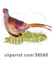 Clipart Illustration Of A Common Pheasant Phasianus Colchicus In Grass