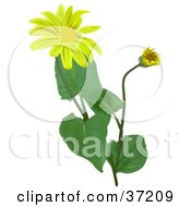 Clipart Illustration Of Blooming Leopards Bane Wolfs Bane Mountain Tobacco Or Mountain Arnica Arnica Montana Flowers