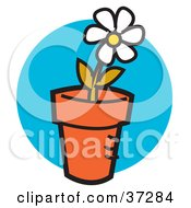 Single White Daisy Flower Growing In A Pot