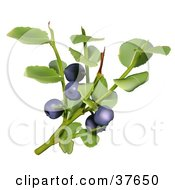 Clipart Illustration Of Leaves And Berries Of A Blueberry Plant