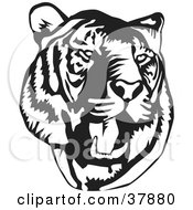 Clipart Illustration Of A Black And White Roaring Tiger Head by David Rey #COLLC37880-0052