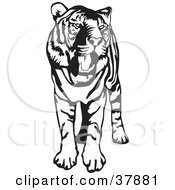 Standing Black And White Tiger With Its Mouth Open