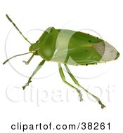 Clipart Illustration Of A Green Stink Bug Or Green Soldier Bug Acrosternum Hilare by dero