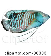 Clipart Illustration Of A Blue Dwarf Gourami Colisa Lalia In Profile by dero