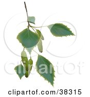 Clipart Illustration Of A Birch Branch With Leaves And Catkins