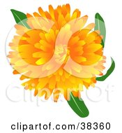 Clipart Illustration Of A Blooming Pot Marigold Or Scotch Marigold Calendula Officinalis Flower by dero