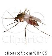 Culex Sp Mosquito