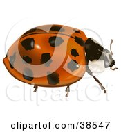 Clipart Illustration Of An Asian Lady Beetle Harlequin Ladybird Multicolored Asian Lady Beetle Or Halloween Lady Beetle Harmonia Axyridis by dero