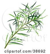 Clipart Illustration Of Green Narrow Leaved Paperbark Narrow Leaved Tea Tree Narrow Leaved Ti Tree Or Snow In Summer Melaleuca Alternifolia Leaves by dero #COLLC38692-0053