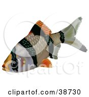 Clipart Illustration Of A Black And Orange Tiger Barb Or Sumatra Barb Puntius Tetrazona by dero
