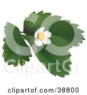 Clipart Illustration Of A Blossoming Wild Strawberry Plant