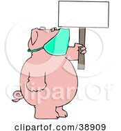 Pig Wearing A Mask And Holding Up A Blank Sign Avoiding The Swine Flu