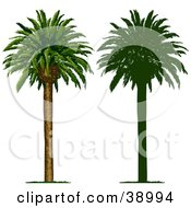 Clipart Illustration Of A Tall And Straight Tropical Palm Tree Also Shown In Silhouette