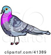 Pigeon With A Blue And Purple Head And Neck