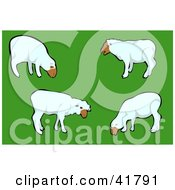 Group Of White Sheep Grazing In A Green Pasture