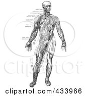 Royalty Free RF Clipart Illustration Of A Black And White Full Bodied Human Anatomical Drawing 3