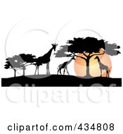 Royalty Free RF Clipart Illustration Of A Silhouetted Giraffes And Umbrella Thorn Trees Against An African Sunset