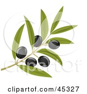 Branch Of Organic Black Olives On A Tree